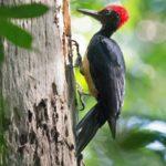 white bellied woodpecker