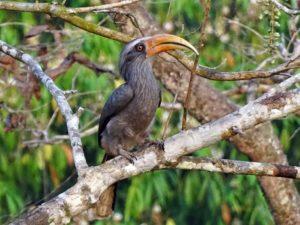 mg hornbill